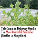 driveway weed